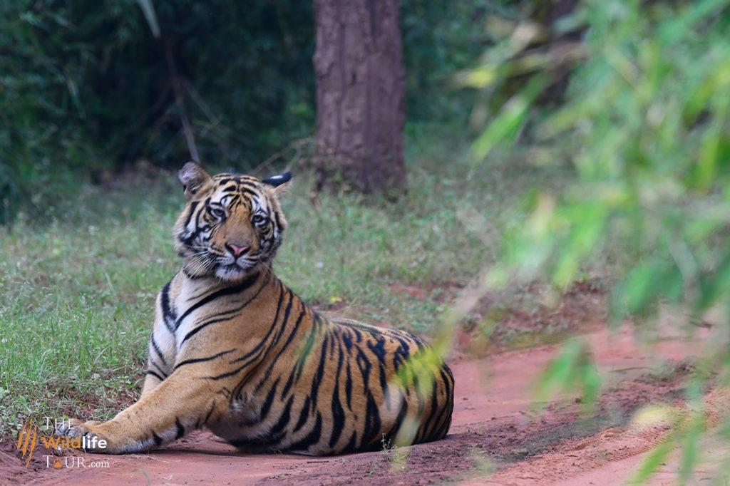 Tiger Safari India   India Tiger Safari   Tigers tour in India   wildlife trip in India   Taj Mahal Tour India   Private tiger safari India